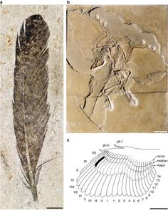 "X-rays of the ancient bird Archaeopteryx (lived 150 mya) reveal a pattern in its feather pigments unable to be seen in a fossil of an Archaeopteryx feather.  ""...the ancient bird's feathers were in fact light in color, with a dark edge and tips.   The distinct black-and-white patterns on the bird's plumage are comparable to the pigmentation of a magpie...""  (Image from http://www.nature.com/ncomms/journal/v3/n1/images_article/ncomms1642-f1.jpg )  #myt"