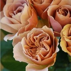 Cafe Latte is a beautifully scented garden style rose. Beigey Brown in colour & wholesaled 24 stems per wrap.