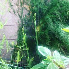 Y siguen  #espárragos #asparagus #espàrrecs #huertourbanopiluki #growmyownfood #urbangarden #huertocasero #huertoencasa #huertourbano #huertoenmacetas #macetohuerto