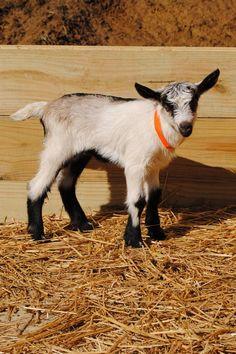 Baby Goat Natasha