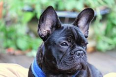 Boudreaux, my frenchie