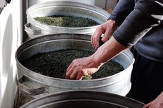 Making Laoshan Oolong Tea:  all in all, from bush to final brew, it takes an entire 8-hour day of intense, skilled labor to create just 10 pounds of finished tea #finetea #hottea