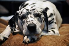 My Gorgeous Dalmatian by JanetGrima, via Flickr