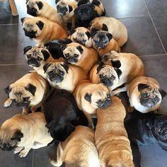 Pug Pack :) ©bubblebeccapugs | instagram.com | #Mops #Pug