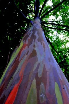 bark of a Rainbow Eucalyptus