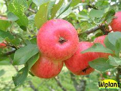 Malus domestica Pirja, sommarsort. Växt: långsamtväxande, litet träd. Skörd: tidig, riklig. Frukt: medelstor/liten, gröngul grundfärg, mörkröd täckfärg,  angenäm smak. Hållbarhetstid: ca 3-4 veckor