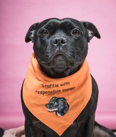 a shame that a small minority taint the huge number of responsible staffy owners and beautifully natured dogs. Staffy Bull Terrier, Staffy Dog, Terrier Dogs, Boston Terrier, Beautiful Dogs, Animals Beautiful, Cute Animals, I Love Dogs, Cute Dogs