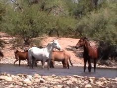 Dramatic Wild Horse Action at the Salt River
