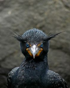 Double-crested Cormorant - BirdWatching