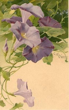 Catherine Klein - purple morning glories vintage botanical illustration, floral art