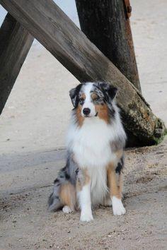 Cool Australia Chubby Adorable Dog - 782aeb0a932517bf2e7c67f58497cb1d--dog-behavior-australian-shepherds  HD_642917  .jpg