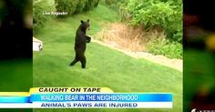 A Black Bear That Only Walks On Two Legs, Had A NJ Town Mystified | The Animal Rescue Site Blog