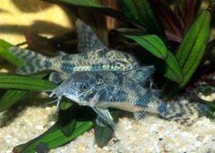 Corydoras...eat the food that fall to bottom of tank.