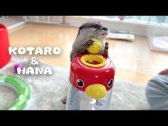 (28) カワウソコタローとハナ 3歳児並みの知能を持つ2人の遊び方 Otter Kotaro&Hana Smart Funny Otters - YouTube After Bath, Bath Time, Otters, Hana, Funny, Bingo, Life, Animals, Youtube
