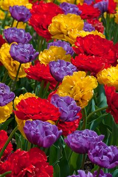 """A photograph of the the spring flowering Tulip Bulbs cultivar """"Petal Pushers"""""""