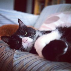 😸😺❣️ 😼    #catslife #lazycat #catgram #magnificent_meowdels #bestcat #meowbox #mycat #greycat #meow_beauties #instacat_meows #britishshorthair