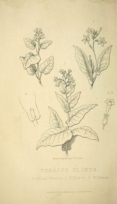 Tobacco; - Biodiversity Heritage Library