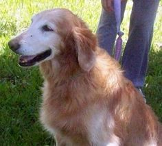 This is Dixie - 11 yrs. She has been shuffled around & her last home confined her to one room - her  owner decided she deserved better & turned her over to rescue. She is potty trained, has good house manners, knows basic commands, walks well on leash, gets along with dogs, cats & kids. Dixie is afraid of thunder & takes meds & wears a thunder shirt which helps. She is looking for a forever home & is at Everglades Golden Retriever Rescue, FL.