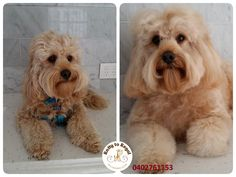 Charming Ollie looking fluffy and smelling fresh after his bath and blow dry :) Thank you Nikki and Ollie :) Ratty to Regal - Professional Dog Grooming Service in Bicton with Lots of Love, Care, Patience and Treats:) Mob.: 04 02 761153 Ula Facebook: https://www.facebook.com/rattytoregal/  Website: https://rattytoregal.wixsite.com/rattytoregal #doggrooming #doggroomer #petstylist #rattytoregal #petgroomer #dogsalon #Bicton #Bictondoggroomer #bahtandblowdry #dogs #cavoodle
