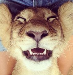 """A man in a movie theater notices an African Lion sitting in the seat next to him. """"Are you a lion?"""" The lion replied, """"Well, I liked the book. Smiling Animals, Happy Animals, Funny Animals, Cute Animals, Beautiful Creatures, Animals Beautiful, Beautiful Lion, Lion Tigre, Animal Pictures"""