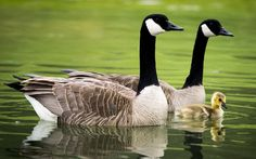 A pair of Canada geese swim with their newborn gosling in a pond along the eighth-hole fairway of Qualchan Golf Course in Spokane, Wash.