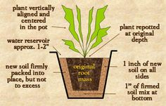Properly repotted plant. Article has info from light, water, and soil requirements to pest infestation pics. VERY informative.