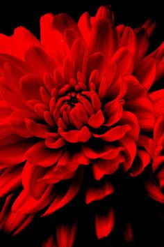 "Chrysanthemum, derived from the Chinese 'Chu hua' meaning ""October flower"". Long considered a noble flower, the chrysanthemum signifies a life of ease. Red is for passion."