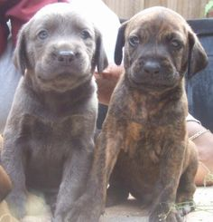 52 Best PLOTT Hounds images | Plott hound, Plott, Hound