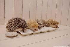 a wide range of hedgehog colors!