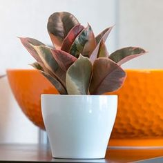 Want to know how to grow ficus? Get tips for caring for this indoor plant, including how to water ficus and more. It's one of the best houseplants! Ficus Elastica, Rubber Plant, Rubber Tree, Potted Plants, Indoor Plants, Room With Plants, Plant Rooms, Pink Plant, Growing Seeds