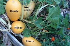 Brown Thumb Mama: When to Harvest Spaghetti Squash