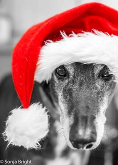 Richie, a beautiful greyhound, wishes you a very Merry Christmas!