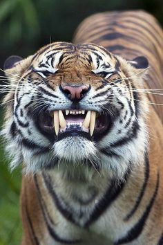 .Tiger shows teeth! Better don't mess around with this guy :)