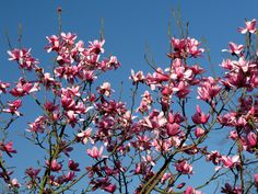 It's official: The earliest spring in more than a century has arrived in Cornwall following the blooming of the Magnolia trees.