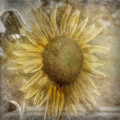 water lilies Tournesols build a patio step-by-step instructions Wet newspapers and put layers around the plants overlapping as you go; Sunflower Garden, Sunflower Flower, Sunflower Fields, Happy Flowers, Beautiful Flowers, Sun Flowers, Sunflowers And Daisies, Grey And Gold, Mellow Yellow