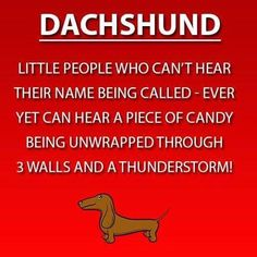(Or a cheese stick wrapper, lol) halloween dachshund, funny daschund, pool funny Dachshund Funny, Dachshund Breed, Dachshund Quotes, Dachshund Art, Long Haired Dachshund, Daschund, Dapple Dachshund, Dachshund Gifts, Memes Humor