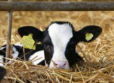 What do calves eat?
