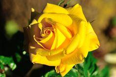 Rose jaune, Les fleurs - MonSitePhotos
