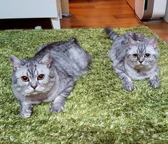 Waffles and muffins - http://cutecatshq.com/cats/waffles-and-muffins/