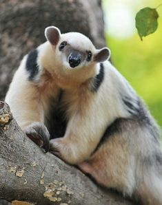 "SOUTHERN TAMANDUA ~ from South America. This animal has an elongated snout and is covered in creamy yellow-brown fur. They grow to lengths of 21 to 35 inches, with tails up to 16"". Generally, they weigh between 7 and 19 pounds. Their main defense are their sharp claws."