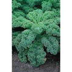 Légumes-chou à feuilles-Scarlet 200 graines