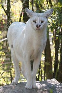 """Pharaoh, a white serval (/ˈsɜrvəl/) (Leptailurus serval) known in Afrikaans as Tierboskat, """"tiger-forest-cat"""", is a medium-sized African wild cat. DNA studies have shown that the serval is closely related to the African golden cat and the caracal Big Cats, Crazy Cats, Cats And Kittens, Cats Meowing, Cats Bus, Beautiful Cats, Animals Beautiful, African Wild Cat, African Serval Cat"""