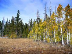 Aspens in Tahoe / http://www.sleeptahoe.com/aspens-in-tahoe/