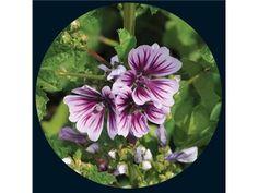 Zebrina - Hollyhock | Baker Creek Heirloom Seed Co