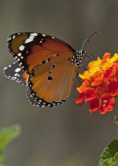 Plain Tiger Butterfly by Eyal Bartov