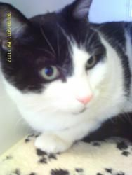 Henry is a Domestic Short Hair-Black And White cat.  He is 11 years old and going strong.  He would be a great single cat to sit on your lap. http://www.petfinder.com/petdetail/24673394#