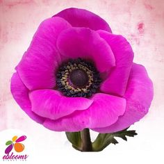 Anemones Hot Pink Dark Center Fresh Cut flower.  Features:  ✿ 10 Stems Anemones 40-45cm pack 120 stems ✿ Each stem has a minimum of 1 bloom; some stems may have more than one bloom ✿ Anemones may come in with distinctive Black centers; as the flower opens this center color will fade out. ✿ Anemones are a top-heavy flower and their stems have a natural tendency to bend. In order to achieve an upright straight stem, you may need to wire the stem. All Flowers, Bridal Flowers, Fresh Flowers, Bridal Bouquets, Bulk Flowers Online, Diy Wedding, Wedding Gifts, Delphinium, Wedding Planners