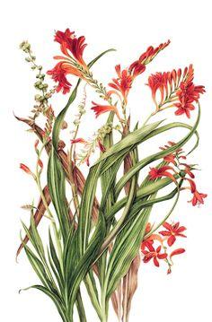 Crocosmia https://www.pinterest.com/jabooboo/botanicals/