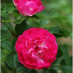 """Colorful Rosa called """"Little Mischief"""""""