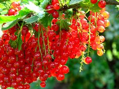 Vinbär - can't wait to pick these with my mom at out summer house! Mom's Saft with vanillia! yuuuuum!